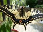 machaon04.JPG