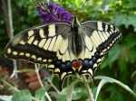 machaon09.JPG